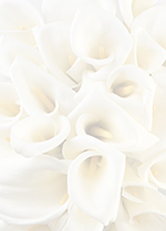 958135 - WHite Calla Lillies